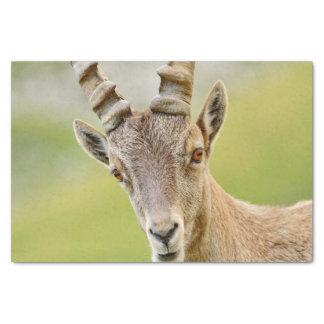 Retrato de um íbex papel de seda