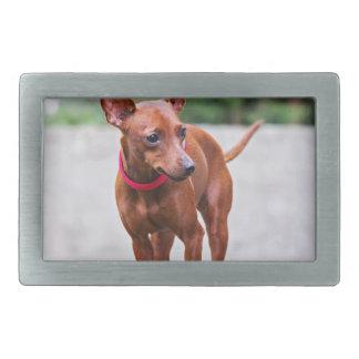 Retrato do cão vermelho do pinscher diminuto