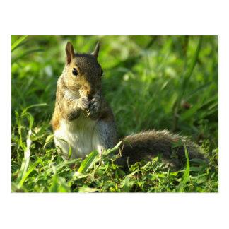 Retrato do esquilo cartão postal