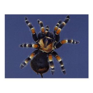 Retrato do Tarantula Cartão Postal