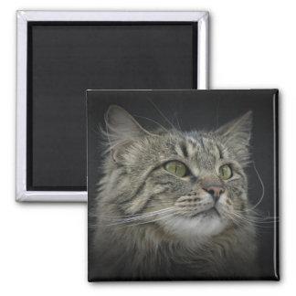 Retrato norueguês do gato da floresta imas