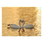Reunião do casal da cisne na fotografia do por do