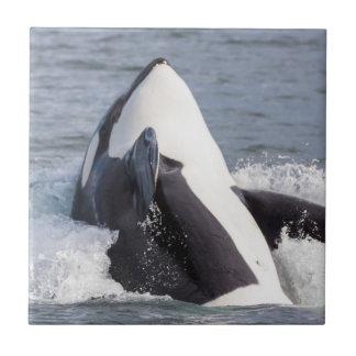 Rompimento da baleia da orca