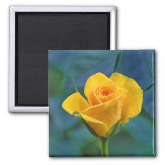 Rosa amarelo bonito ímã quadrado