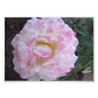 Rosa branco com bordas cor-de-rosa impressão fotográficas