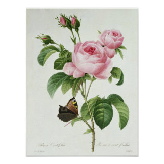 Rosa Centifolia Pôsteres