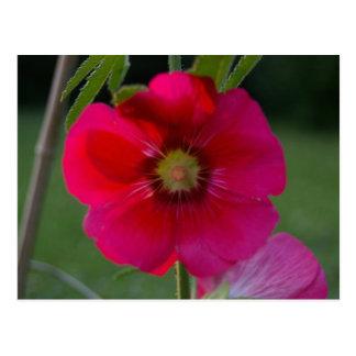 Rosa cor-de-rosa do cartão de Sharon