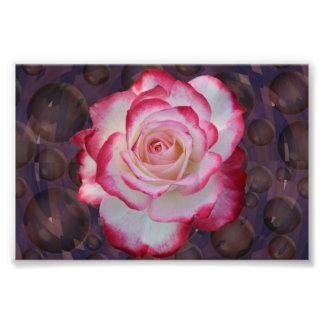 Rosa de chá híbrido cor-de-rosa & branco impressão de foto