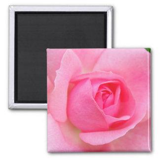 Rosa do rosa ímã quadrado