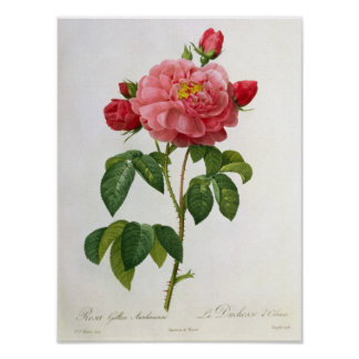 Rosa Gallica Aurelianensis Pôster