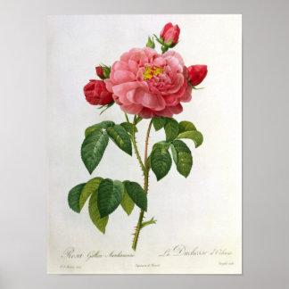 Rosa Gallica Aurelianensis Posteres