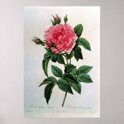 Rosa Gallica Regallis Impressão