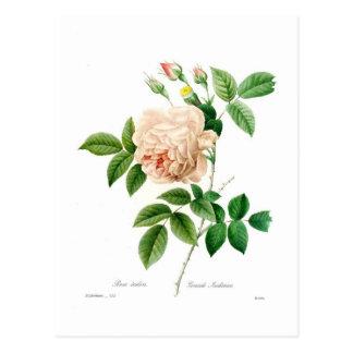 Rosa indica cartão postal