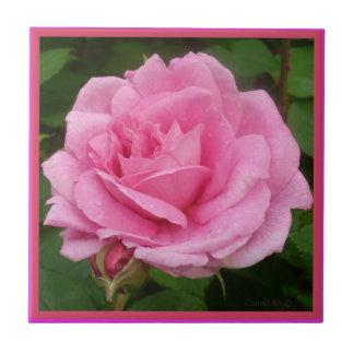 Rosa lindo do rosa
