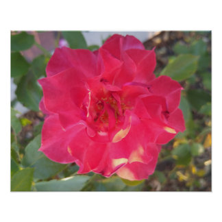 "Rosa vermelha clara 20"" x 16"", papel de poster"