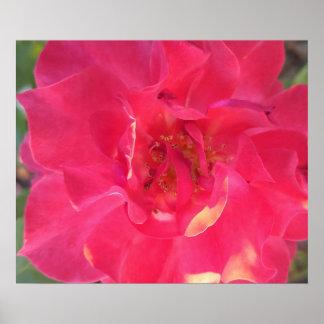 "Rosa vermelha clara 24"" x 20"", papel de poster"