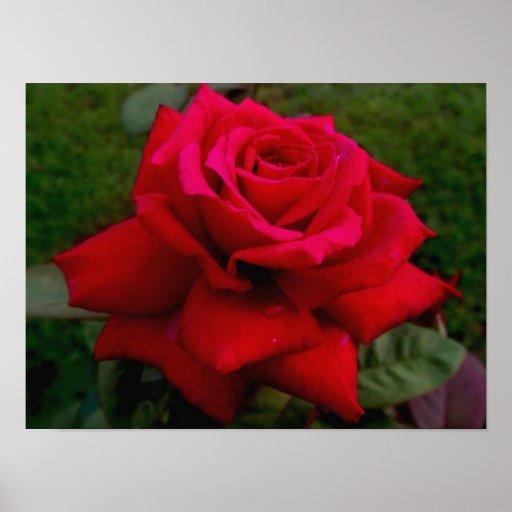 Rosa vermelha clara poster