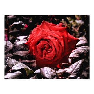 rosa vermelha impressão de foto