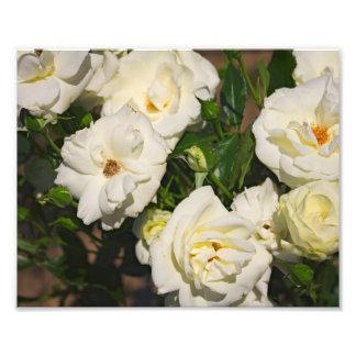 Rosas brancos na flor - fotografia da flor