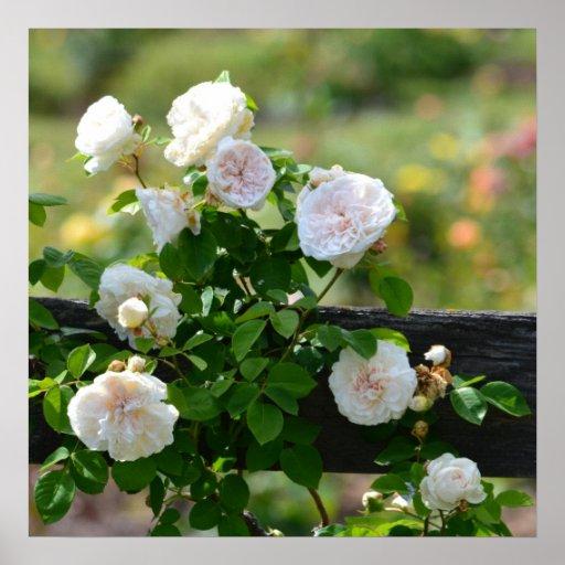 Rosas brancos românticos impressão