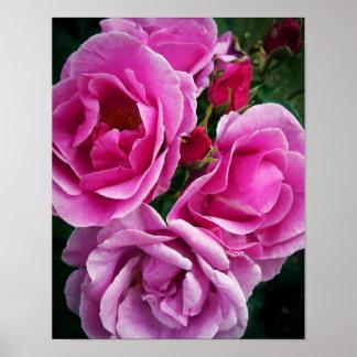 Rosas cor-de-rosa pôsteres