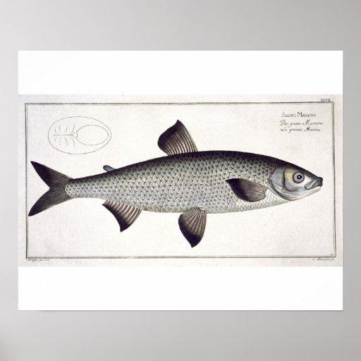 (Salmo Maraena) placa Salmon XXVII 'de Ichthyolo Posters