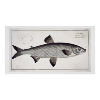 (Salmo Maraena) placa Salmon XXVII 'de Ichthyolo Poster