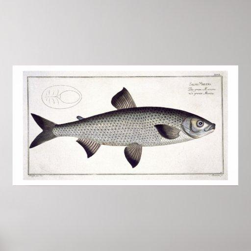 (Salmo Maraena) placa Salmon XXVII 'de Ichthyolo Pôsteres