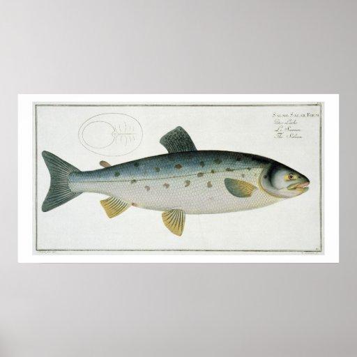 (Salmo Salar) placa Salmon XX 'de Ichthyologie, Pôsteres