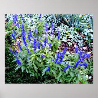 Salvia roxo floresce o papel de poster do valor (o