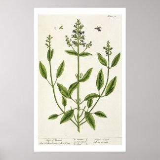 """Salviam """"de um erval curioso"""", 1782 (cor engr pôster"""
