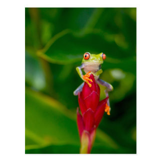 sapo de árvore do Vermelho-olho, Costa Rica Cartão Postal