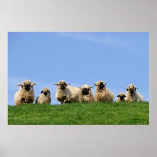 sete carneiros curiosos do rasta pôsteres