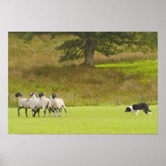 Sheepdog que reune o poster dos carneiros