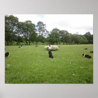 Sheepdogs no poster escocês das montanhas