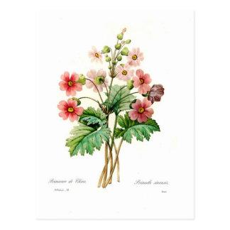 Sinensis do Primula Cartão Postal