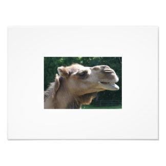 Sorriso do camelo impressão de foto