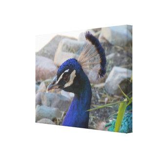 Sudoeste bonito do americano da beleza do pavão impressão de canvas envolvida
