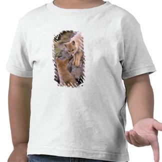 Sul - pares americanos do Fox cinzento (griseus de Tshirt