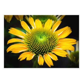Sunburst Coneflower amarelo Fotografia