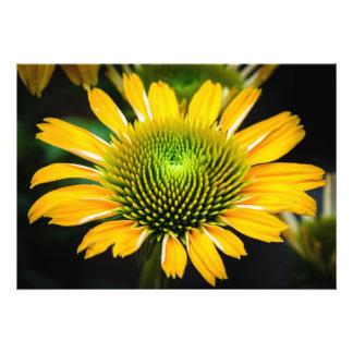 Sunburst Coneflower amarelo Impressão De Foto