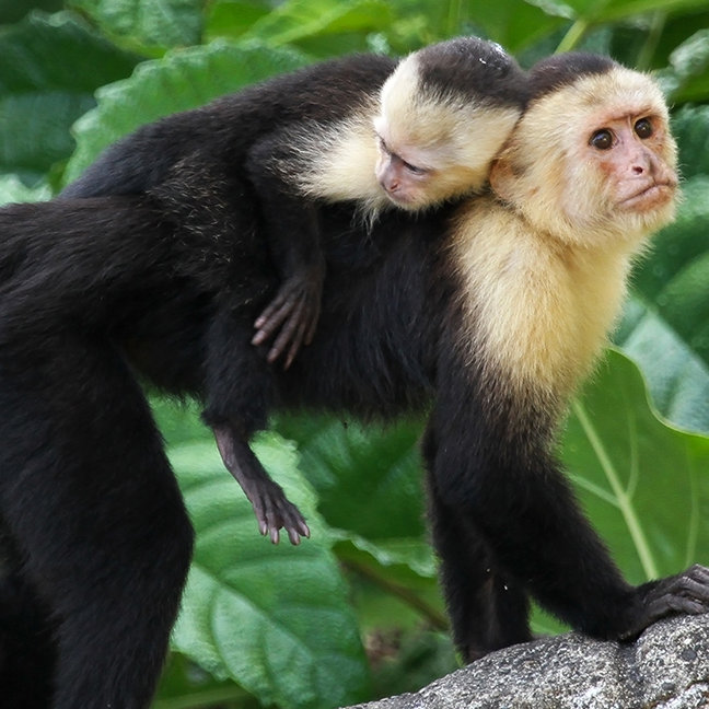 Capuchin Monkey Carrying Baby On Its Back