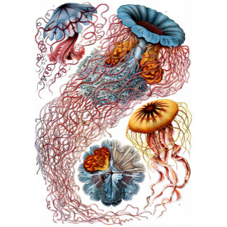 Ernst Haeckel Discomedusae