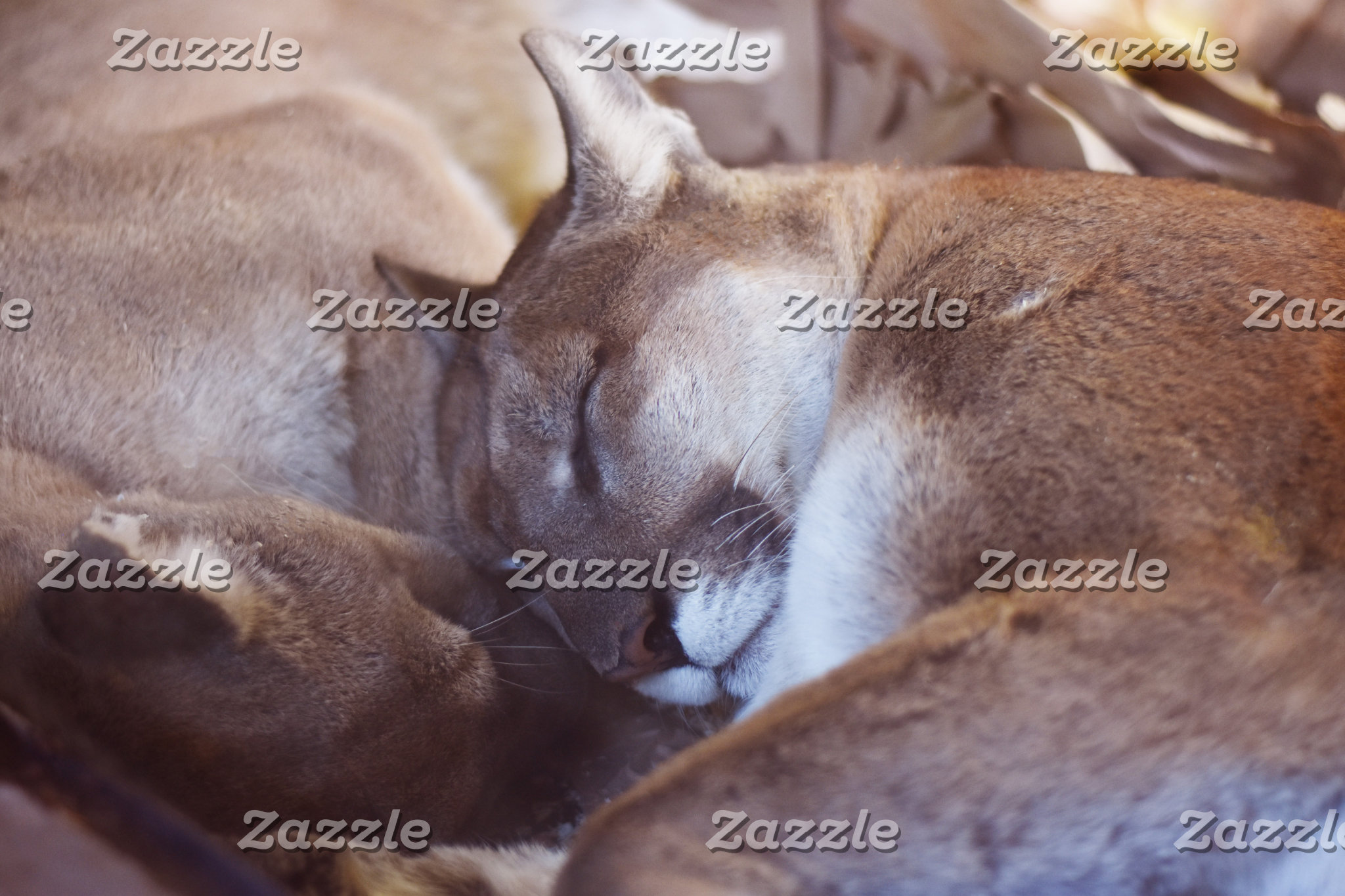 Sleepy Mountain Lion