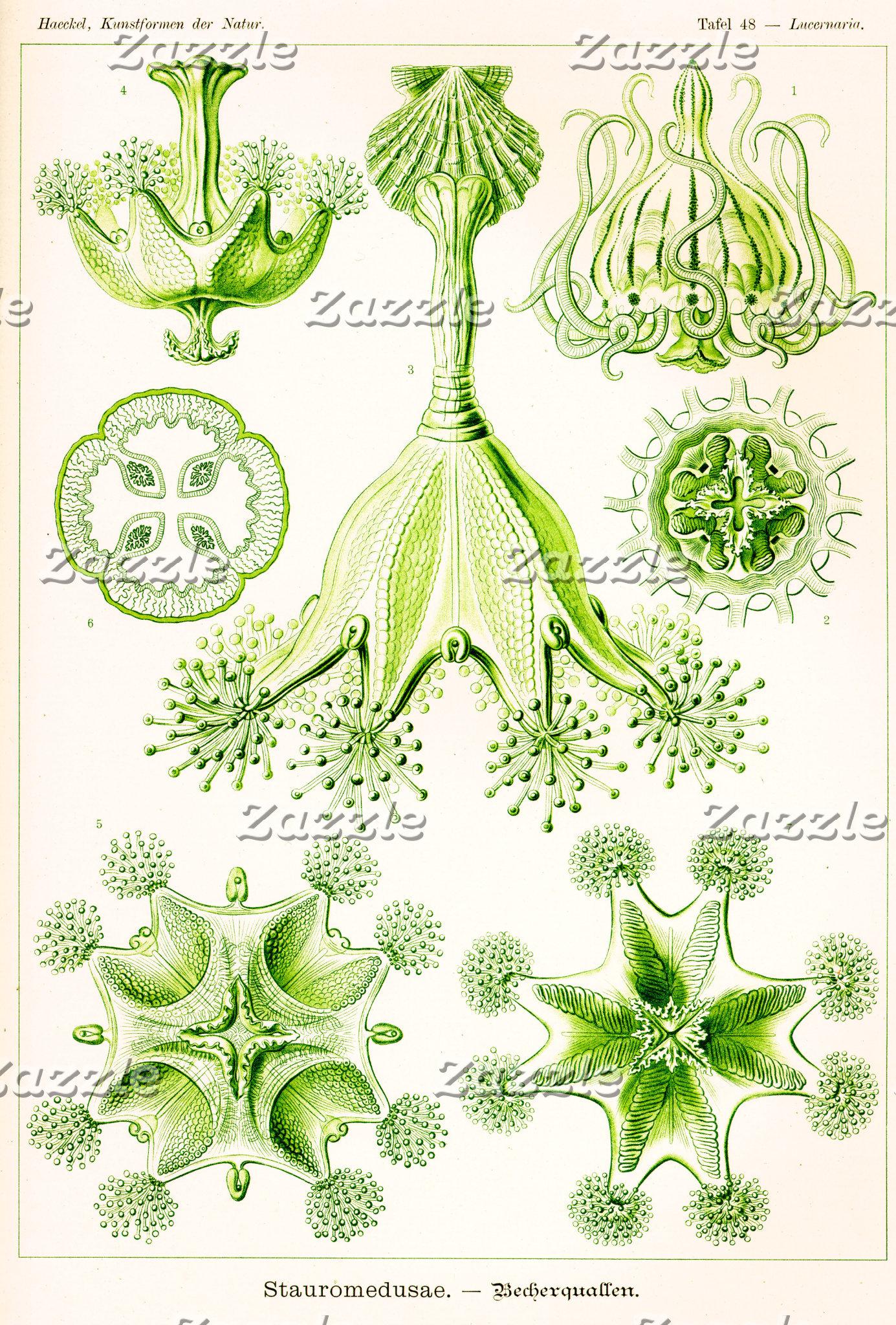 Ernst Haeckel Stauromedusae Stalked Jellyfishes