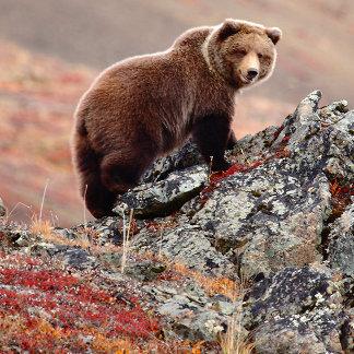 Denali Brown Bear