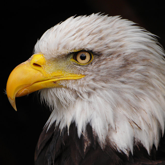 Portrait of eagle