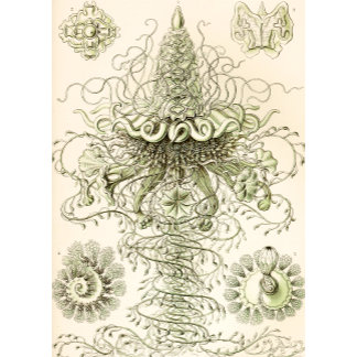 Ernst Haeckel Siphonophorae