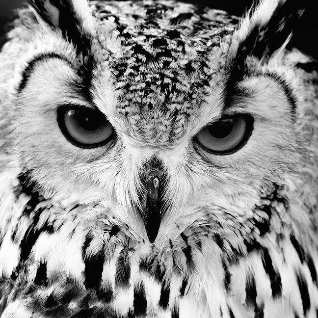 Close Up Portrait Of Eurasian Eagle-owl