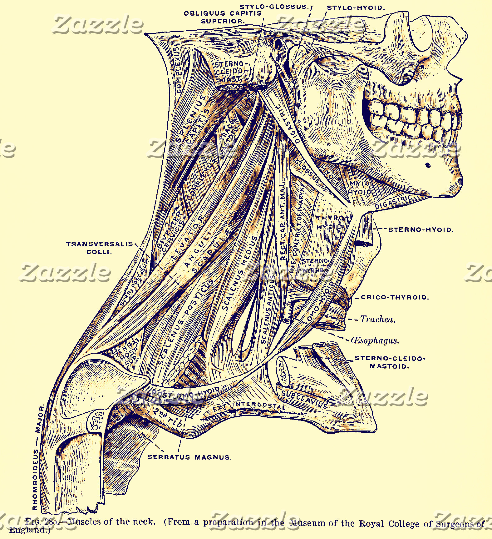 Vintage Anatomy | Muscles of the Neck